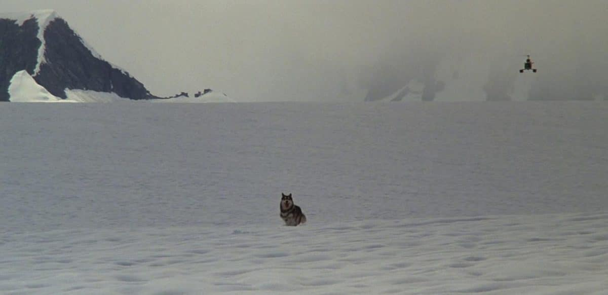 A lone Siberian Husky escapes toward the American camp.
